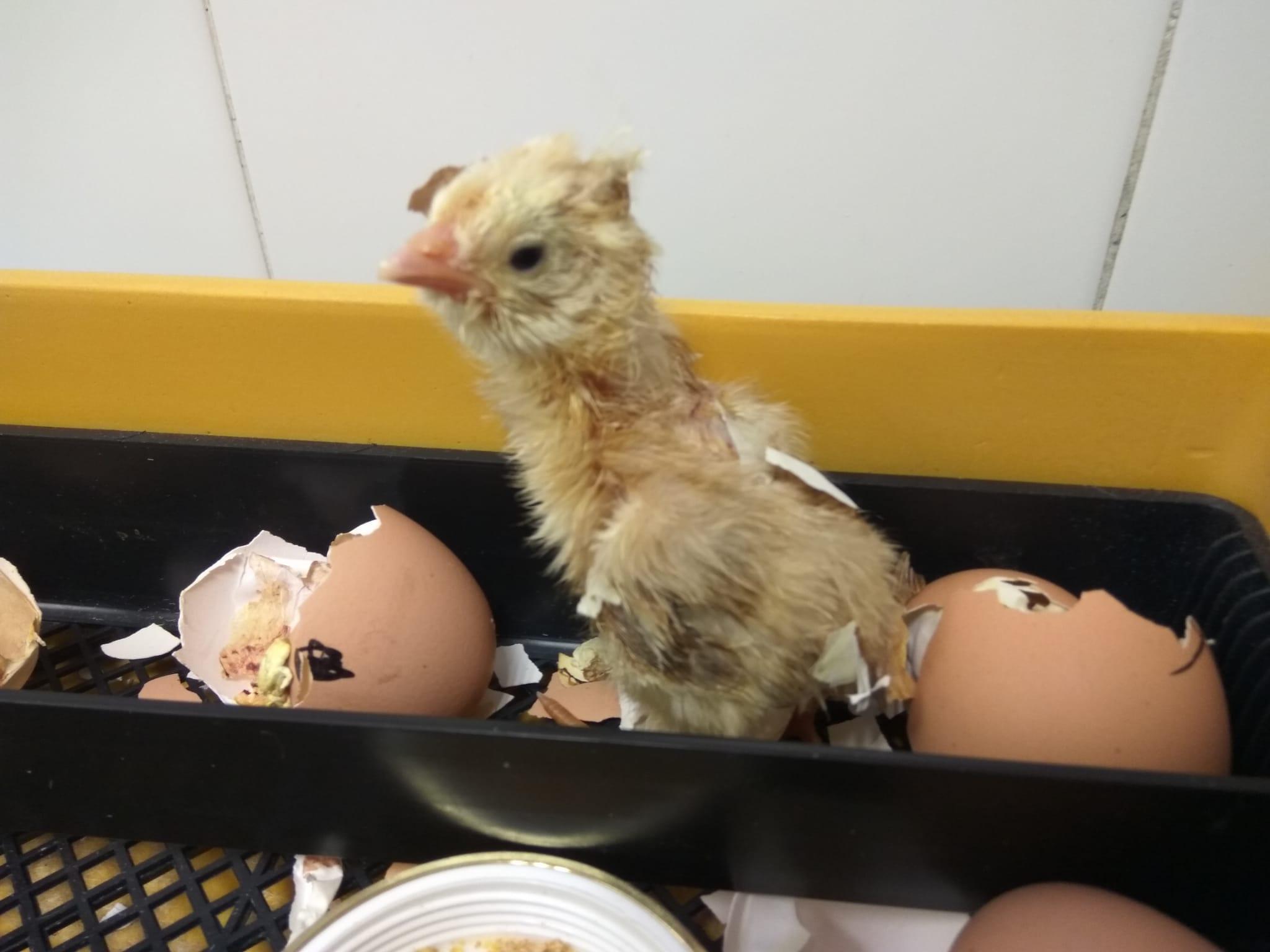 En este momento estás viendo ¡Nacieron nuestros pollitos!